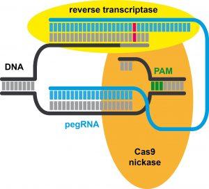 Edición de calidad (PRIME EDITING): la nueva herramienta CRISPR para colorear