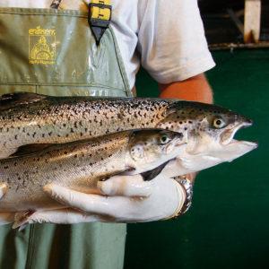 Los salmones transgénicos llegarán por fin a la mesa... en EEUU