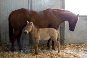 Clonación de caballos: de Prometea a Kurt